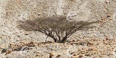 A Dead-Looking Umbrella Thorn Acacia Tree in Israel