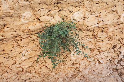 Small Caper Bush on a Limestone Cliff in the Makhtesh Ramon Crater in Israel
