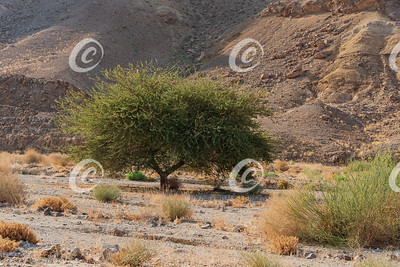 Specimen of Spiraled Acacia in a Wadi in the Ramon Crater in Israel
