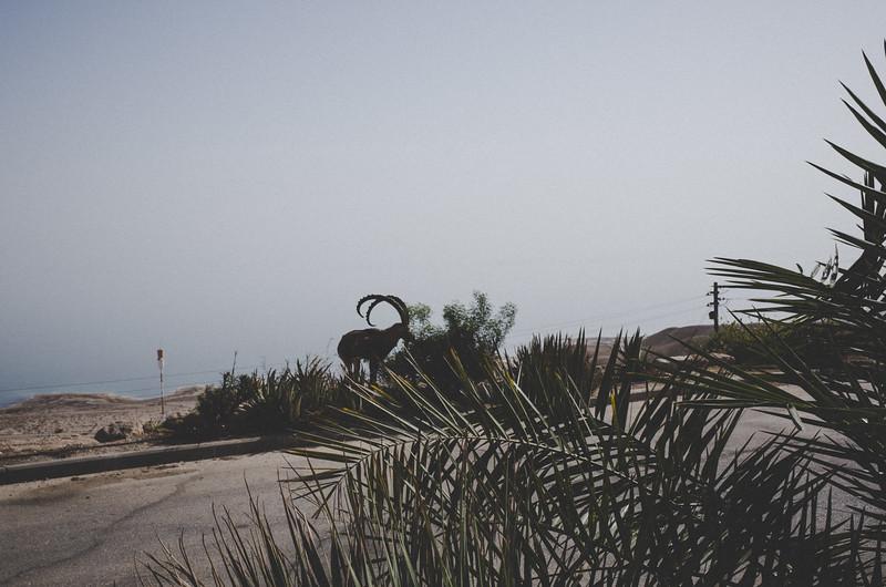 Ibex im Ein Gedi Kibbutz