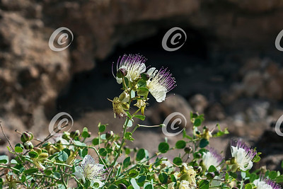 Closeup of Capparis spinosa Caper Bush Flowers in the Negev Desert in Israel