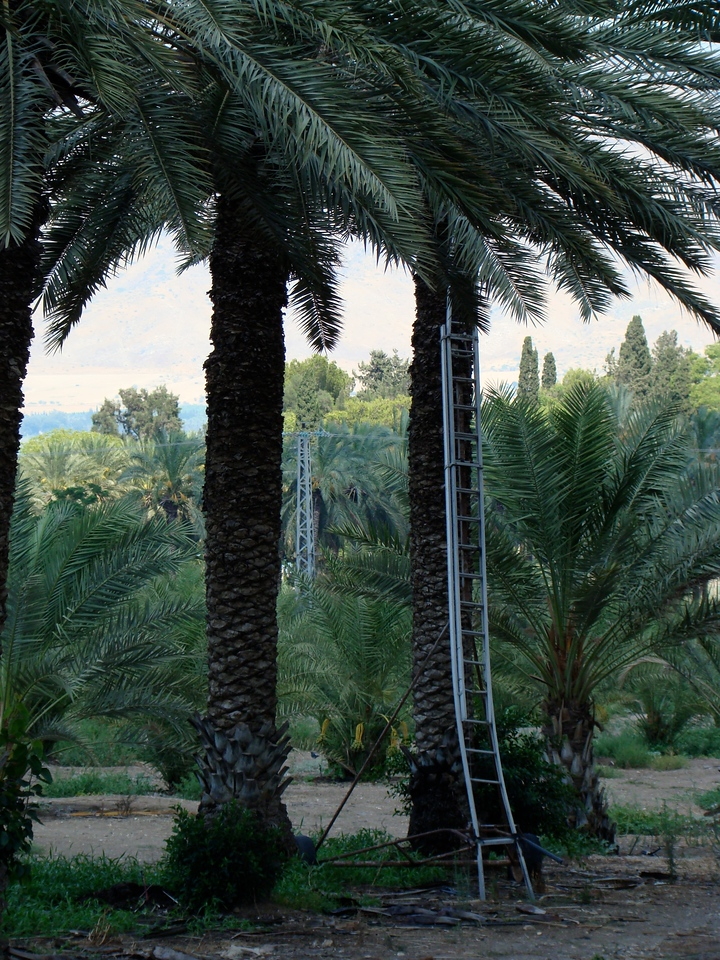 Date Palm Tree-Ladder