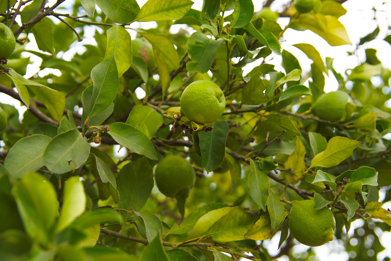 Fruit on the trees is a sure sign of winter coming in Israel.
