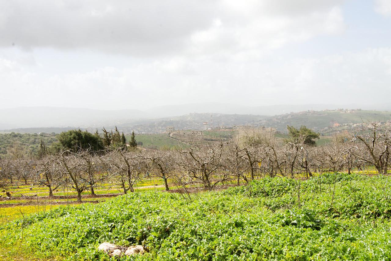 Israeli Orchards on Lebanese Border  Cedar Trees are in Lebanon (Cedar Tree is the symbol of Lebanon)