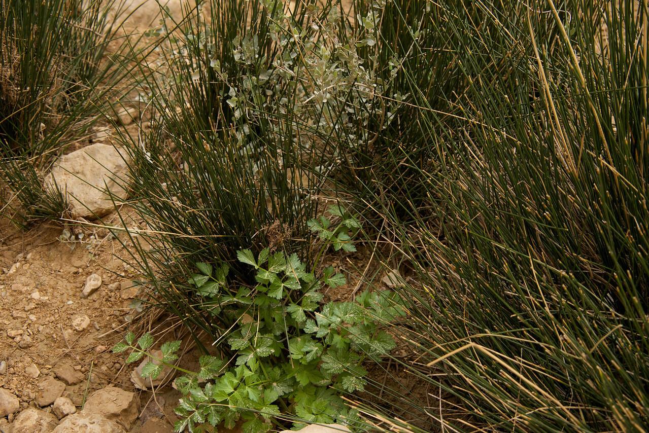 Short Plant in Center is Wild Celery