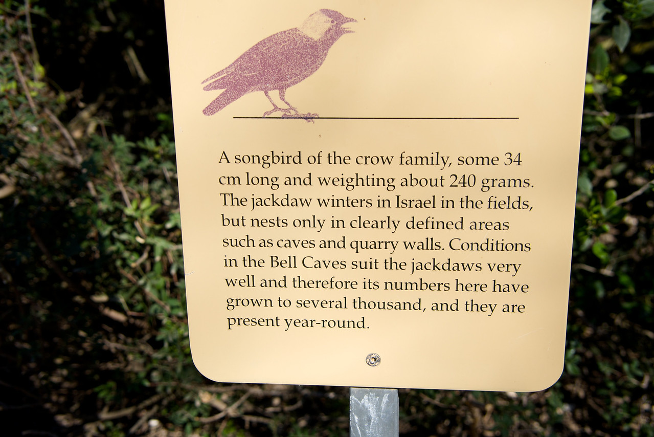 Jackdaw (Ravens) Live in Bell Caves and Quarry Walls