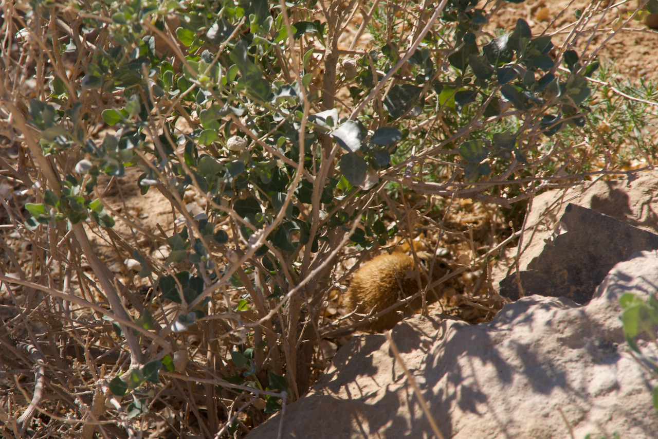 Look Closely for The Golden Spiny Mouse In The Shade of The Bush  It is Very Rare To See A Golden Spiny Mouse During The Day
