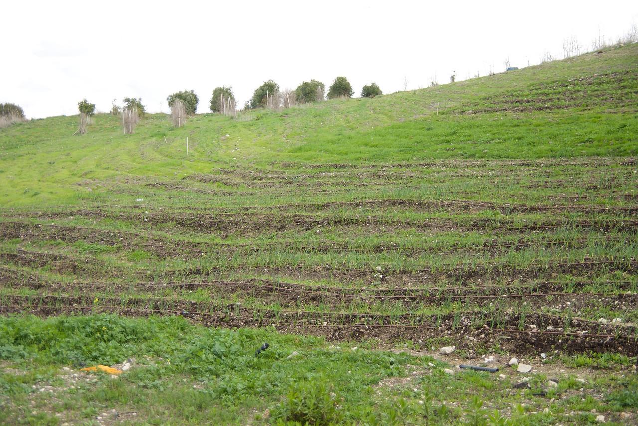 Leket Farm (garlic, onions, chick peas, etc )