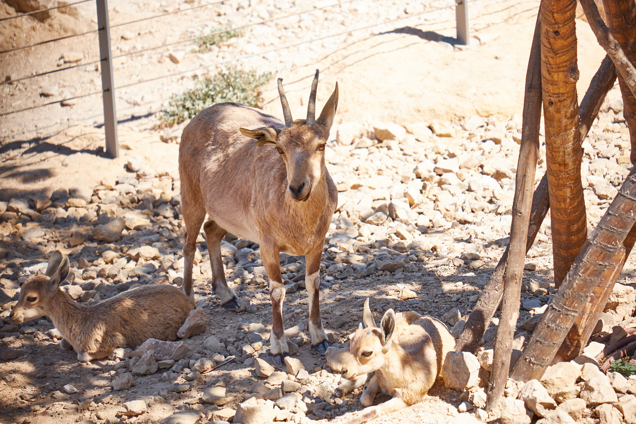 Baby and Adult Ibex.
