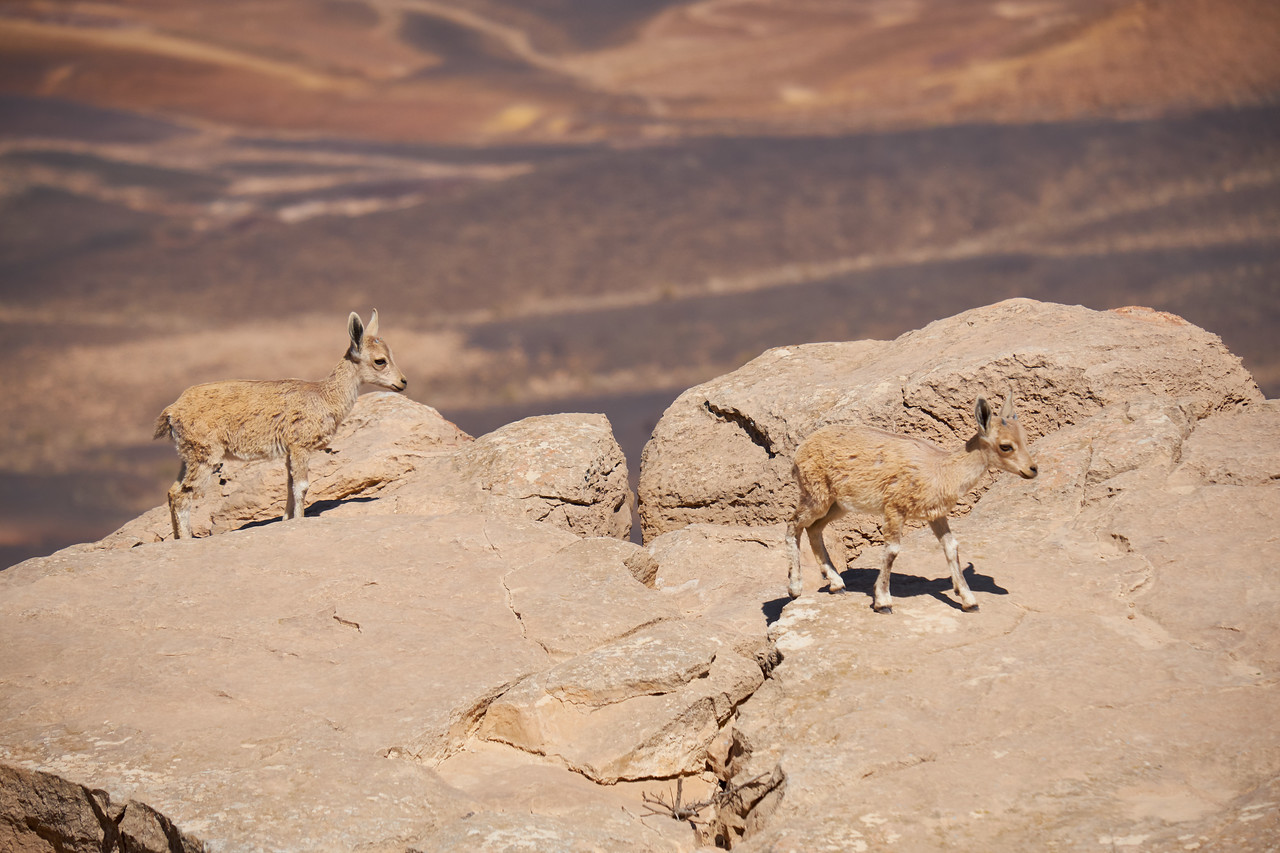 Baby ibex coming to top of crater wall.