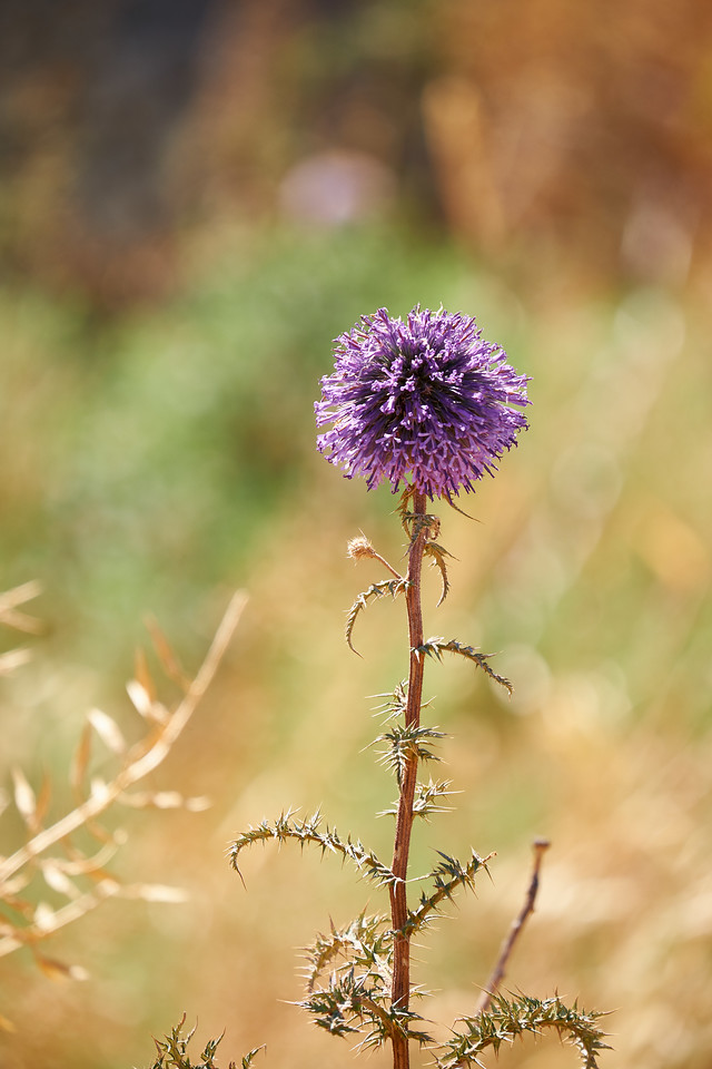 Porcupine flower. Necture from this flower makes the best Golan honey.