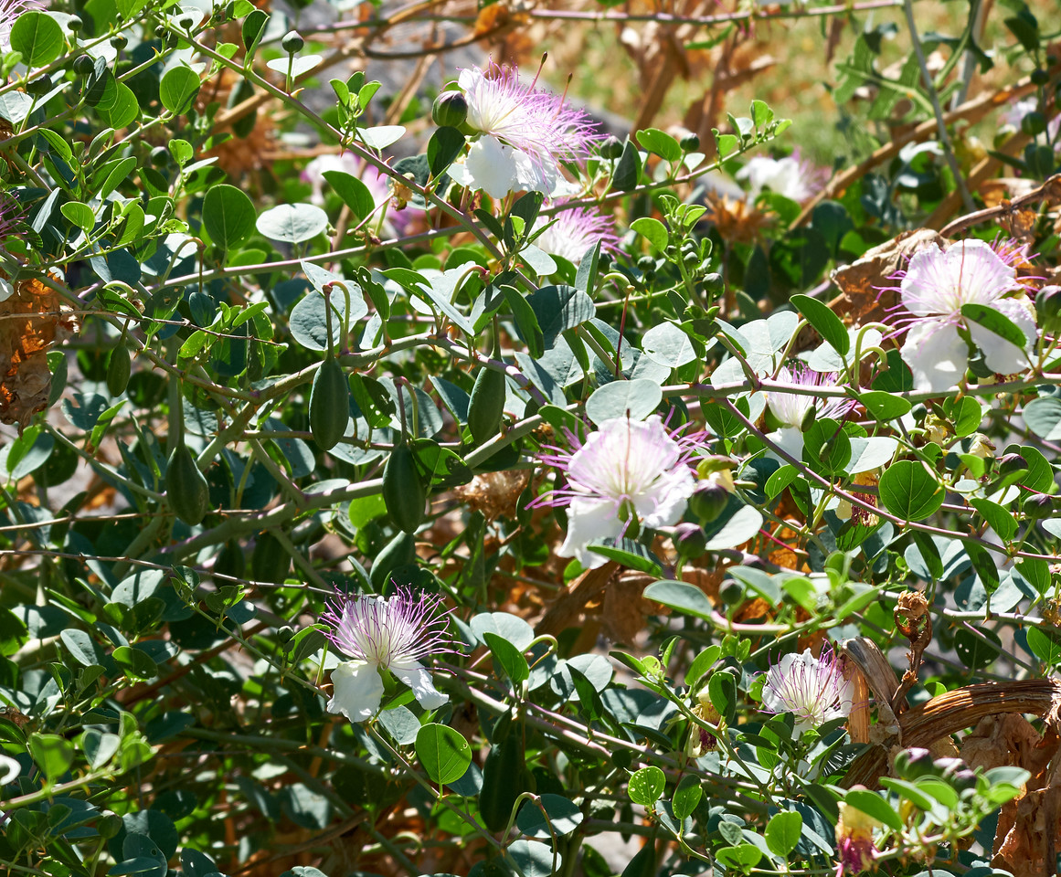 Caper flowers.