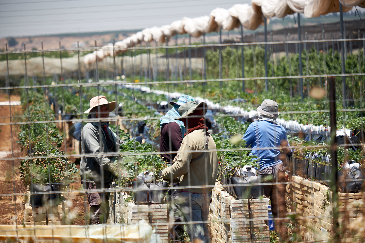Thai workers at a Golan agricultural research and developement center.