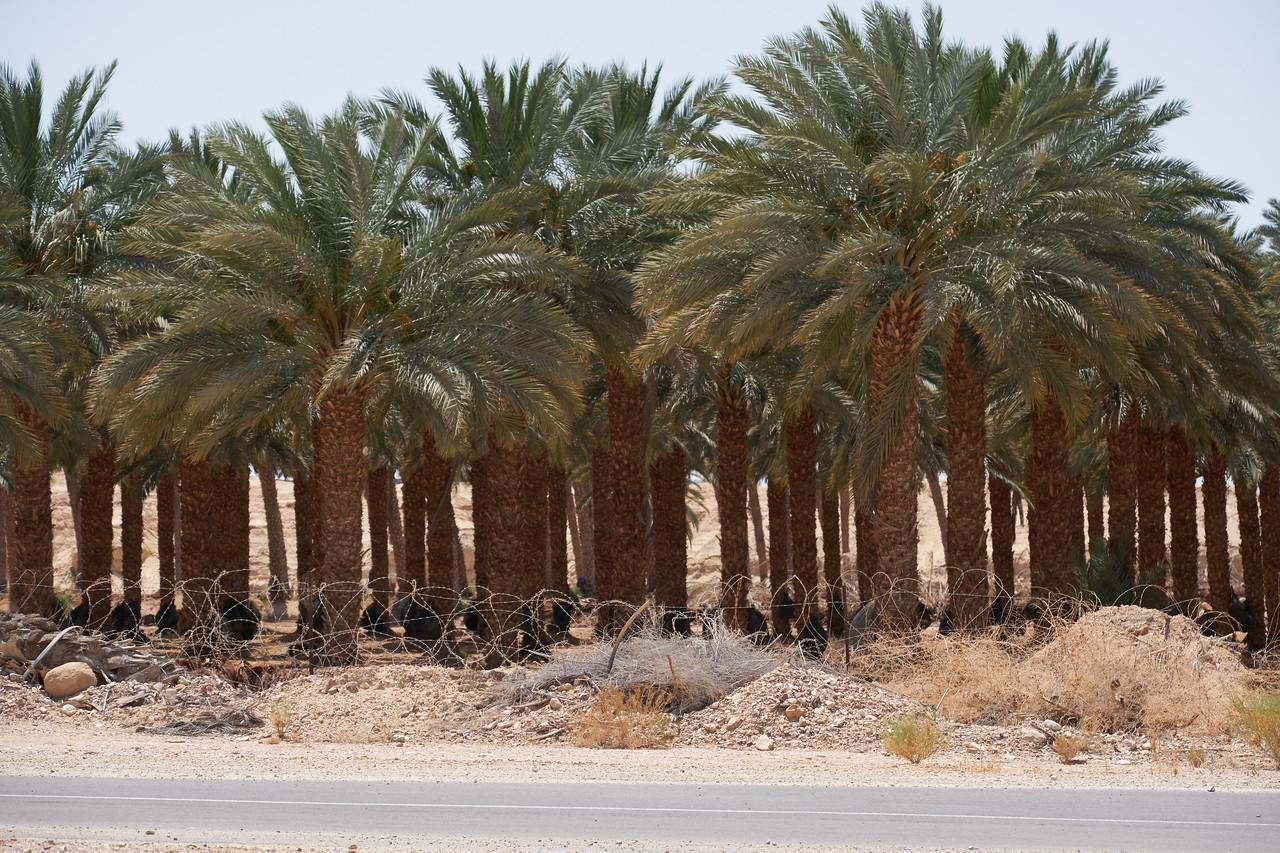 Closer look at date palms in Jordan.