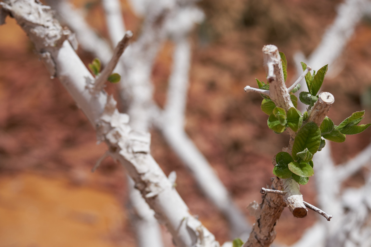 New growth appears on guava plants within weeks of pruning.