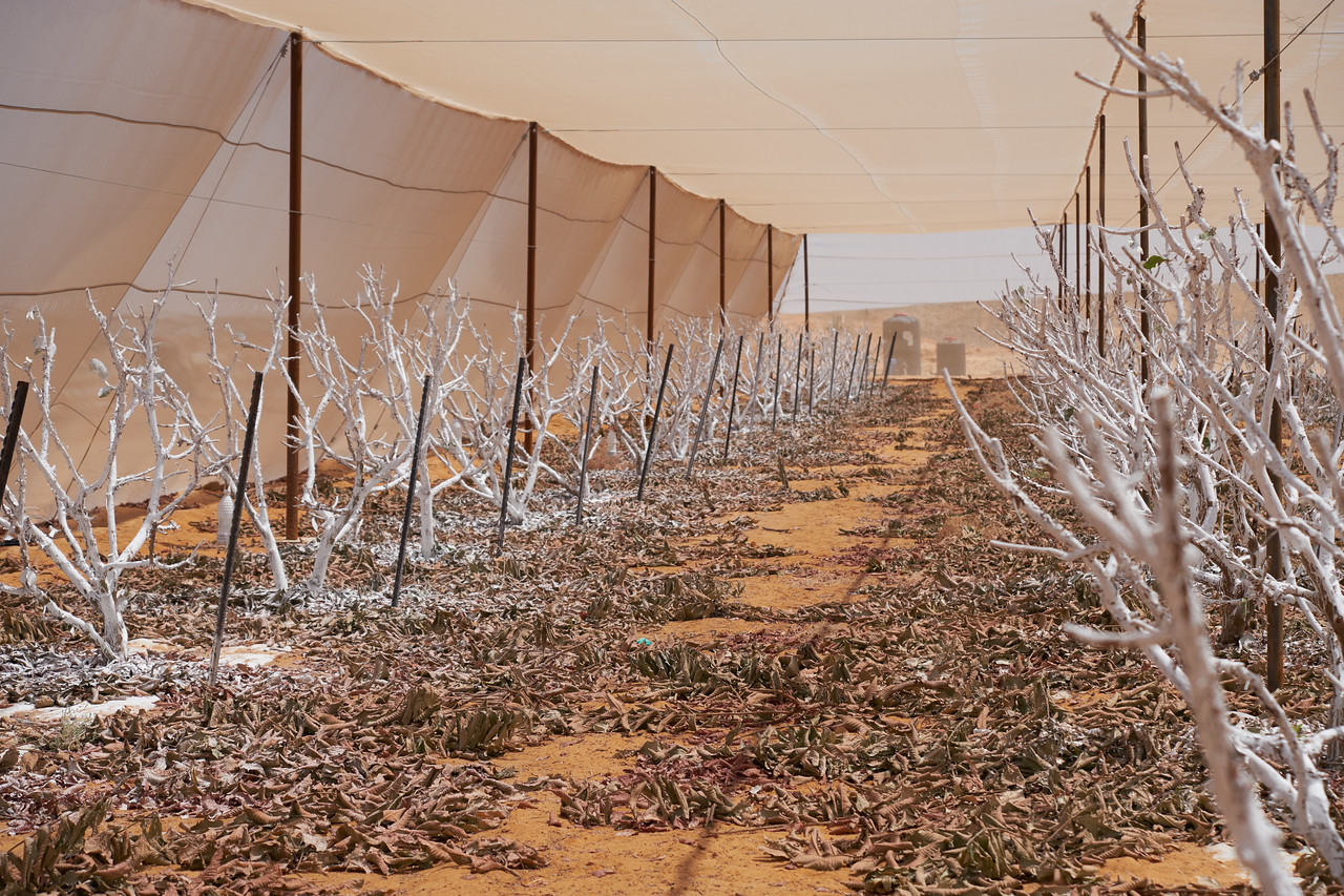 Guava plants sprayed have been harvested and pruned. They are sprayed white to protect them from the sun.