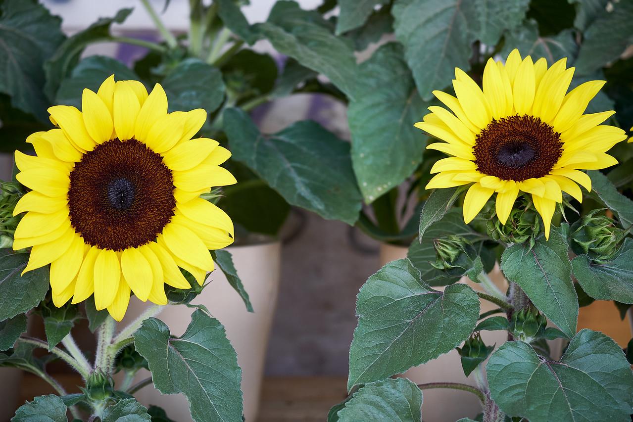 Sunflowers at Carmel Market.