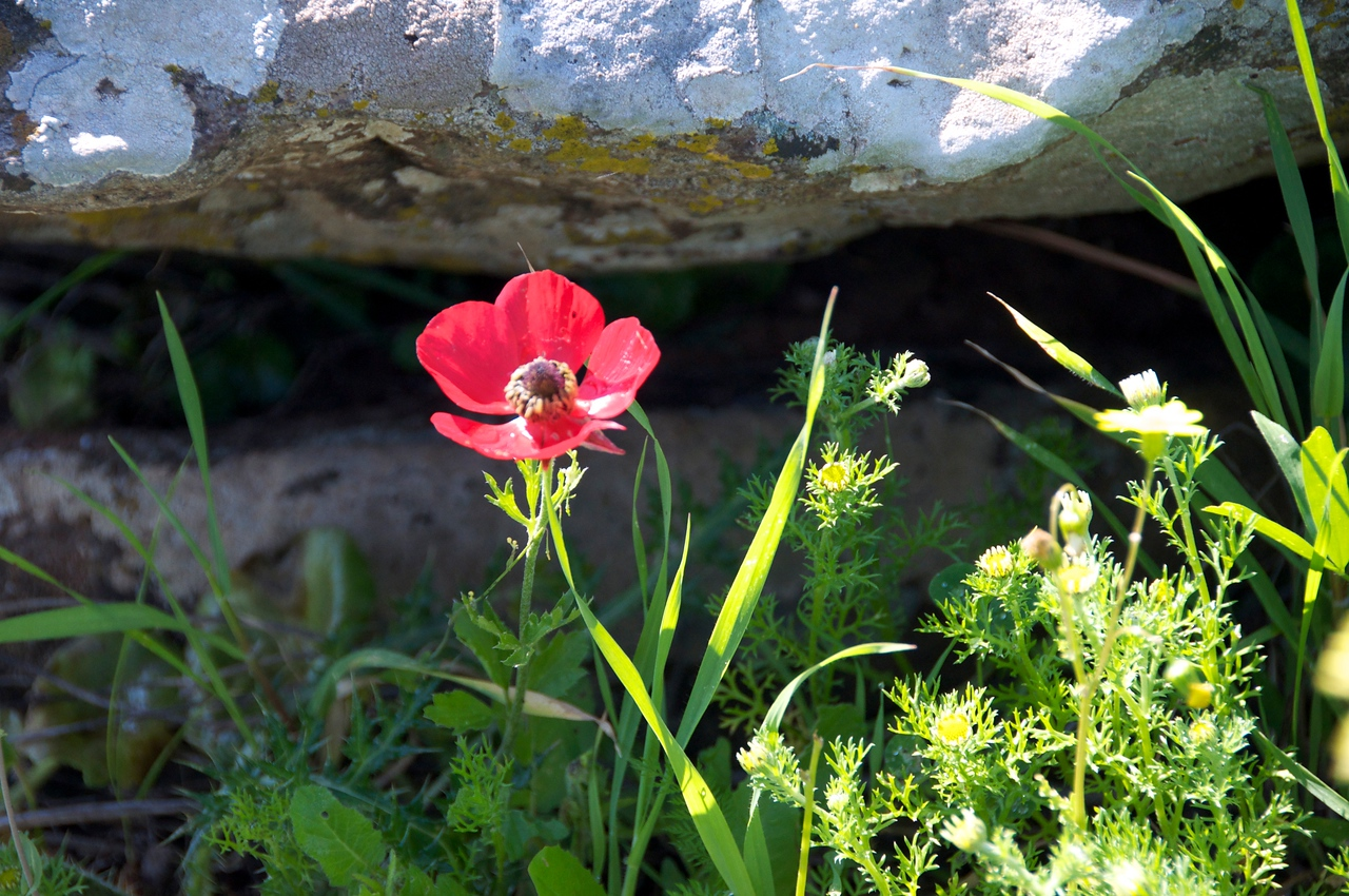 Crown Anemone (red flower)