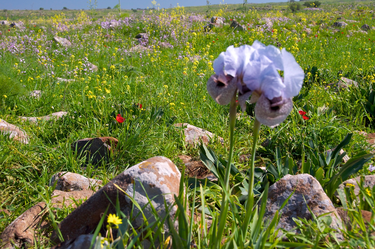 Hermon Iris on Golan Heights… Only Place in The World They Grow