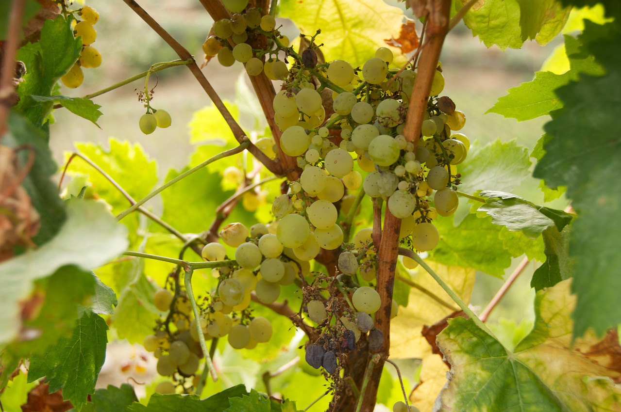 Younger Grapes Are Green