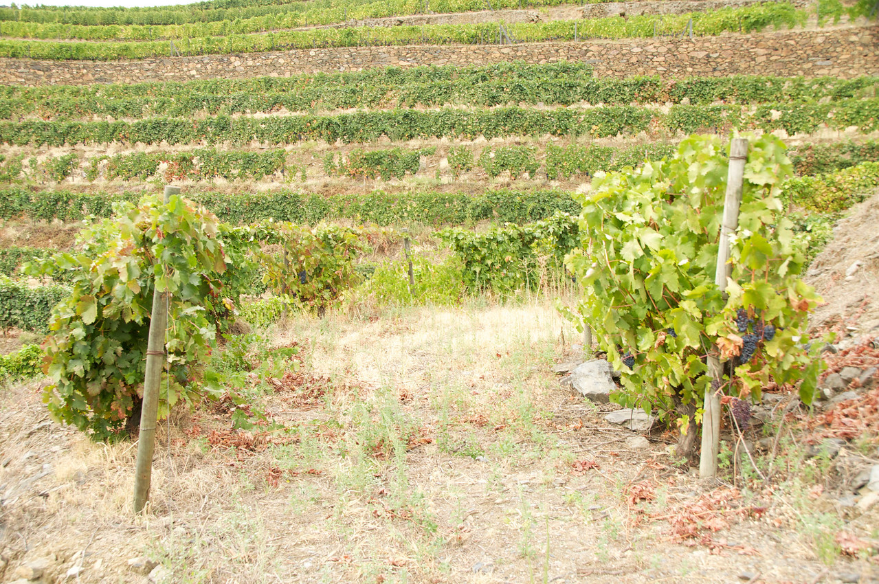 Vines Planted With Enough Distance Between Them for A Truck To Drive…Grapes Picked by Hand