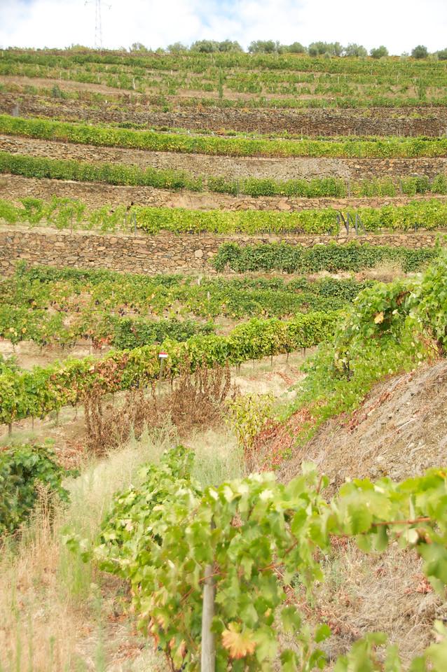 Port Wine Grape Fields