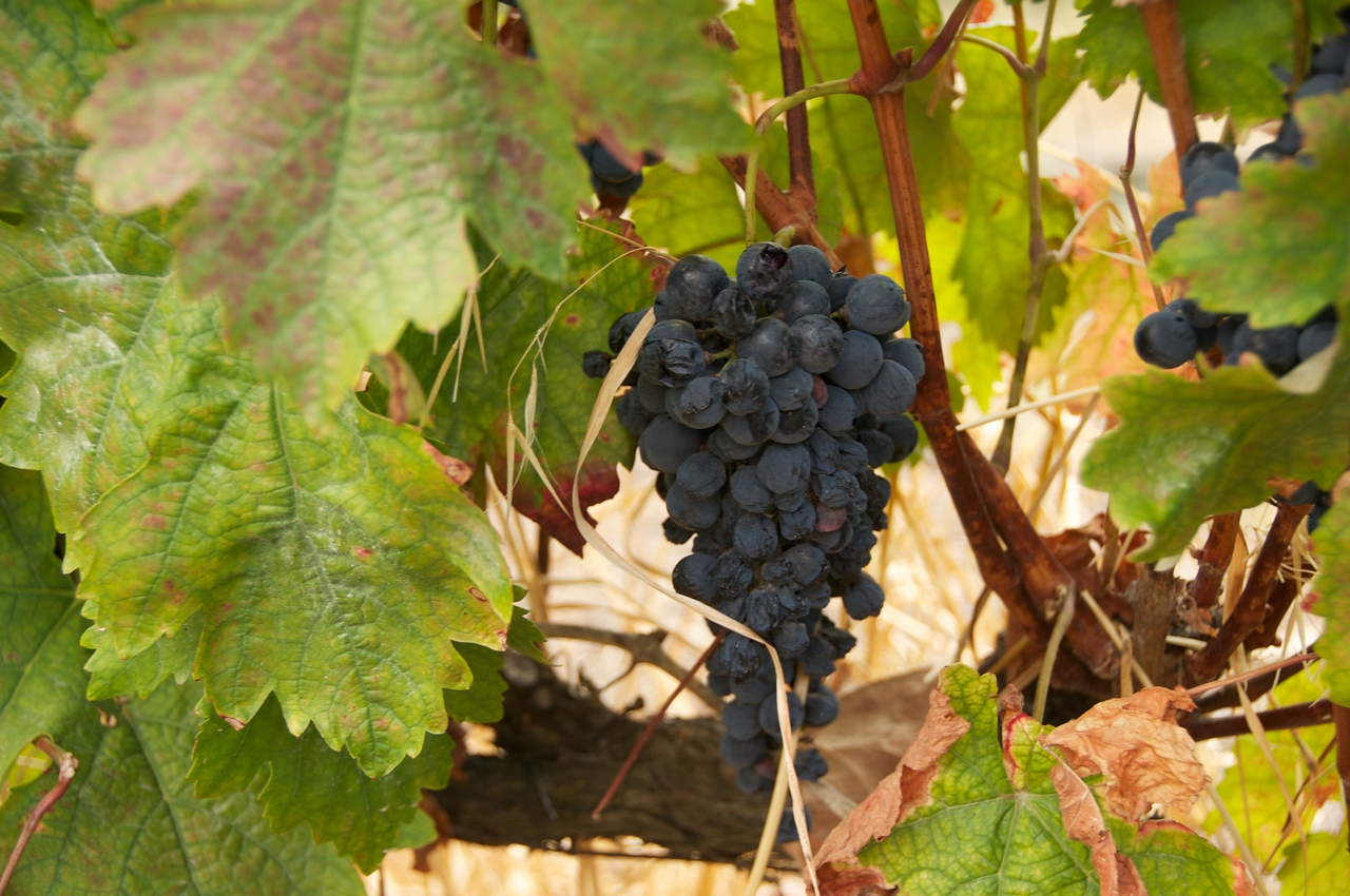 Port Wine Grapes… Ready To Be Picked