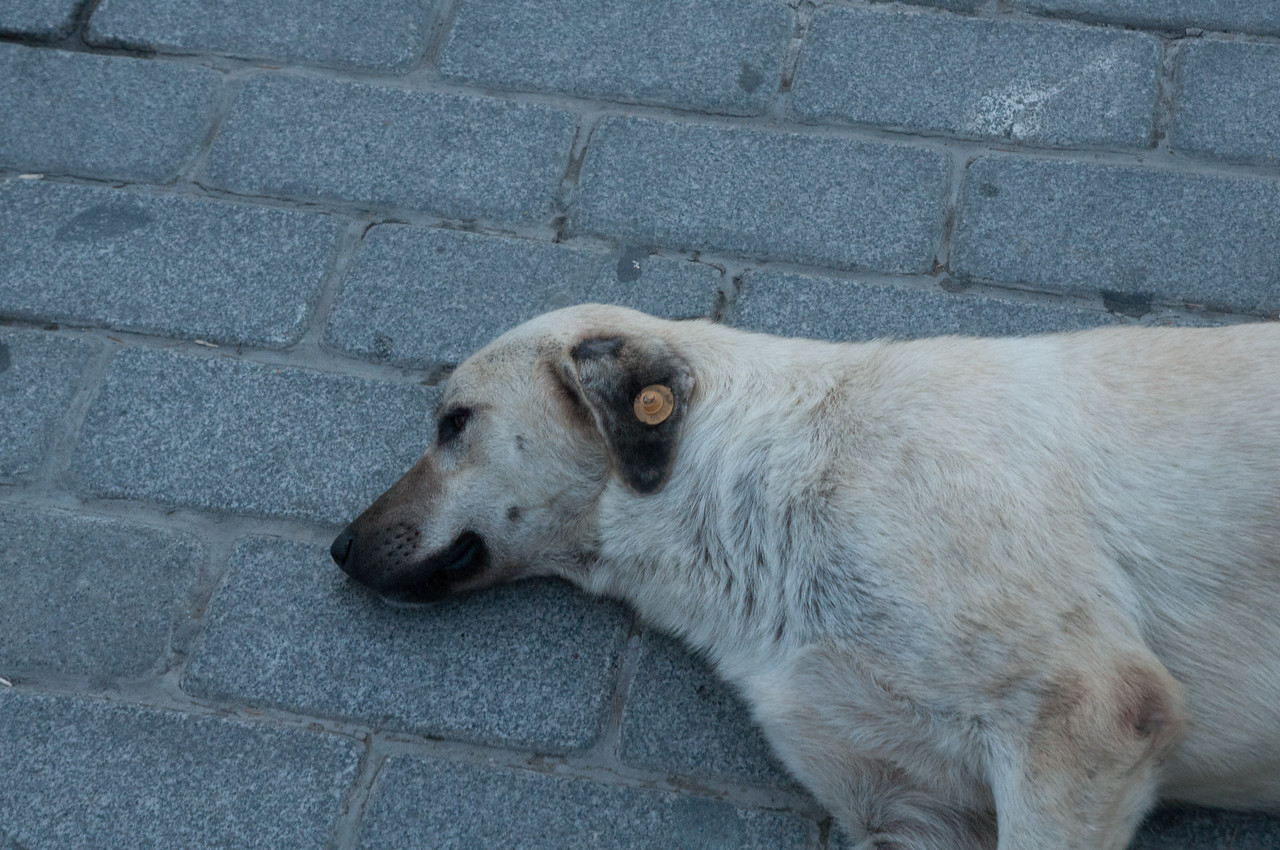 I noticed at the end that all the stray dogs had this ear tag