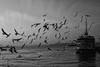 The birds, Istanbul