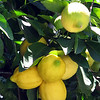 Sorrento - Best lemons in the world