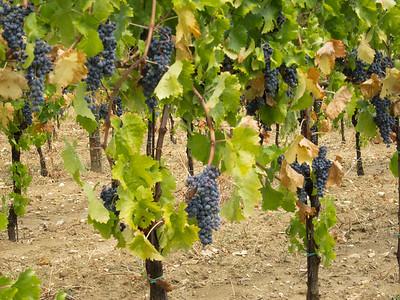 Grapes at Tabarrini Winery, near Montefalco