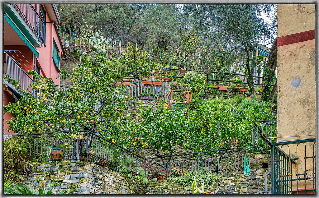 Monterosso Lemon Grove