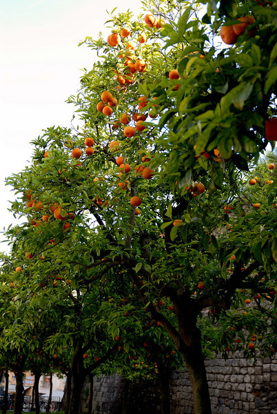 Orange trees across the street from our hotel