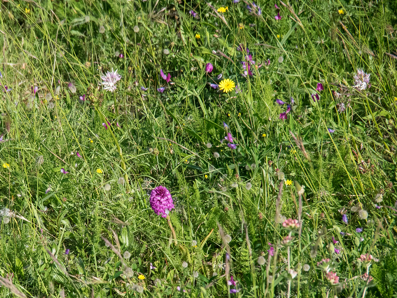 Wild flowers (2 orchids. sweet peas and dandelions) from the lift