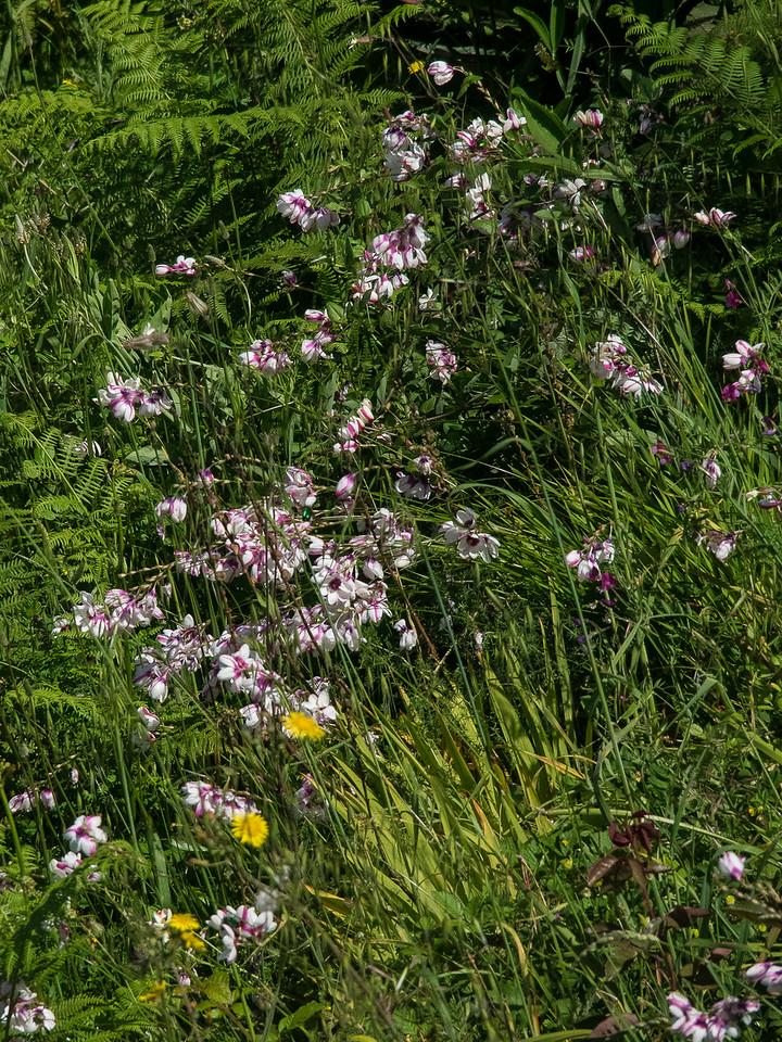 Monte Solara Lift Allium Flowers