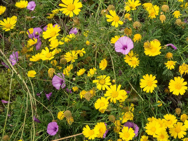 Lipari flowers