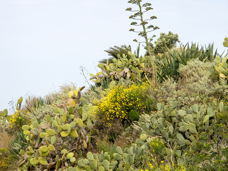 Lipari - Typical Mediterranean plants nearly identIcal to coastal California