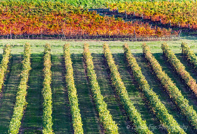 Red & Green Rows After Harvest