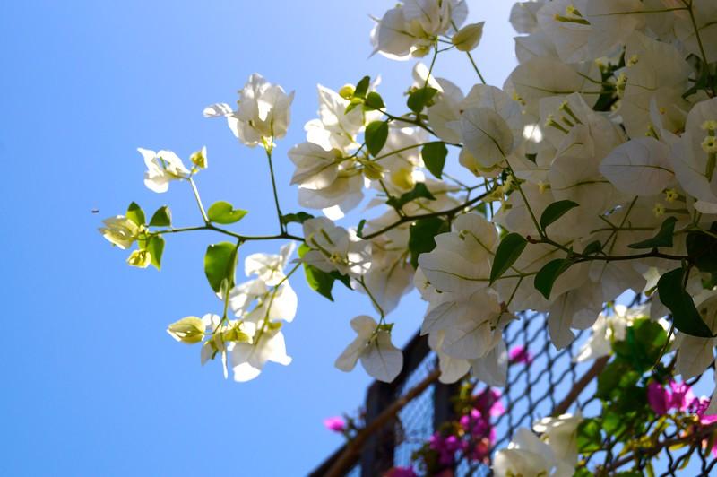 Flowers of Capri