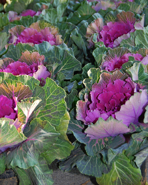 Decorative Cabbages - Bologna, Italy