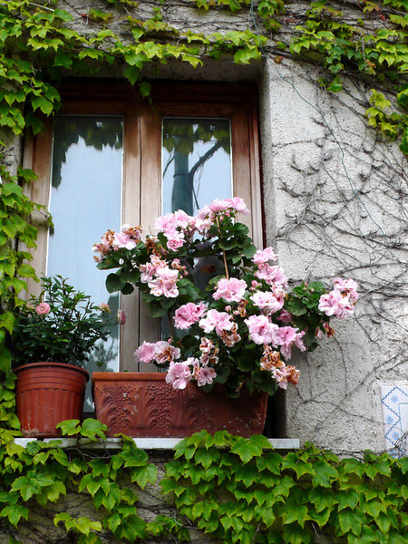 36. Pink Azaleas in window in Ravello