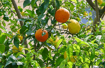 Lemons and oranges on same tree.