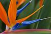 Closeup of the bird of paradise flower in a garden near Annunziata, Italy.