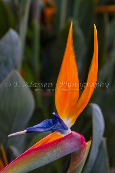 Closeup of the bird of paradise flower in a garden near Annuziata, Italy.