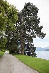 Pinus devoniana (Michoacan Pine)