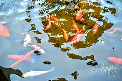 """Gold Fish"" - Bolsena"