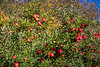 Apple orchards on the mountain slopes near the village of Brixen, South Tyrol, Italy, Europe.