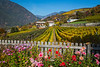 Vineyards in fall color on the mountain slopes above the village of Brixen, Italy, Europe.