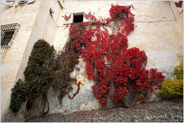 Virginia creeper on the wall at the courtyard, Churburg Castle (IT: Castel Coira) in South Tyrol, Italy