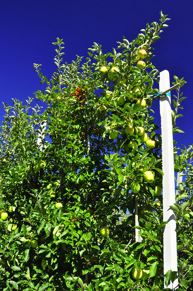 unusual apple tree shape for maximum production